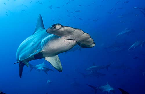 cocos-island-scuba-diving-scalloped-hammerhead